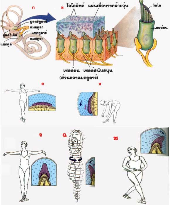 tubercul mare al fracturii articulației umărului