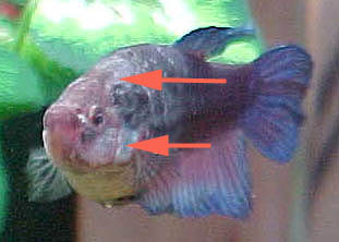 E Chester Disease โรคที่มักพบในปลากัด - Chester ...